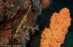 BD-090926-Lembeh-9263967-Solenostomus-paradoxus-(Pallas.-1770)-[Harlequin-ghost-pipefish.-Spökkantnål].jpg
